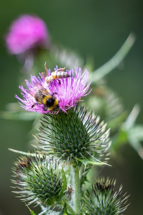Ogoniaści bumblebee Bombus terrestris zbiera pollen od osetu zdjęcie stock