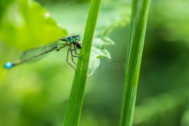 Ogoniaści Damselfly infuscans Ischnura elegans je pluskwy obraz royalty free