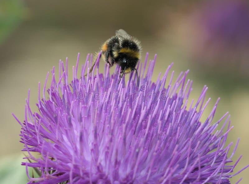 ogoniasta bumblebee czerwień fotografia royalty free