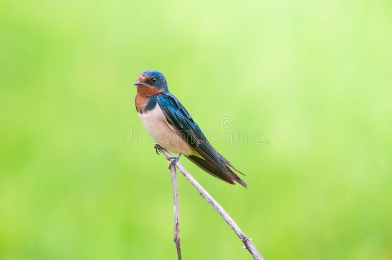 Ogoniasta dymówka, Mały ptak na odgórnym liściu rice.rice segregującym zdjęcie stock