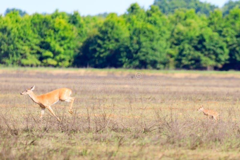 Ogoniasta królica i jej źrebię chodzimy przez pole w Łysym gałeczka rezerwacie dzikiej przyrody w Łysej gałeczce obrazy royalty free