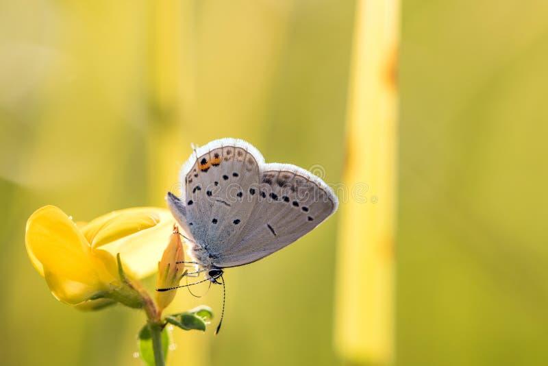 Ogoniasty błękitny, ogoniasty amorek lub; Cupido argiades& x29; na kolorze żółtym fl obrazy stock