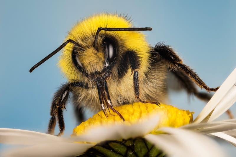 Ogoniasty bumblebee, Biały Ogoniasty bumblebee, Bumblebee, Bombus lucorum - samiec obrazy stock