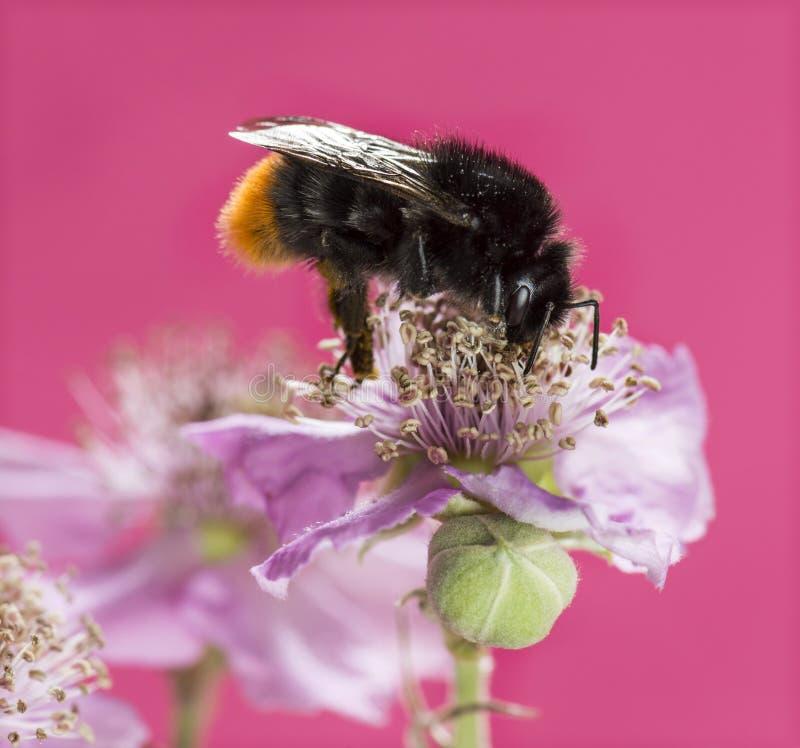 Ogoniasty bumblebee, Bombus lapidarius zdjęcie royalty free