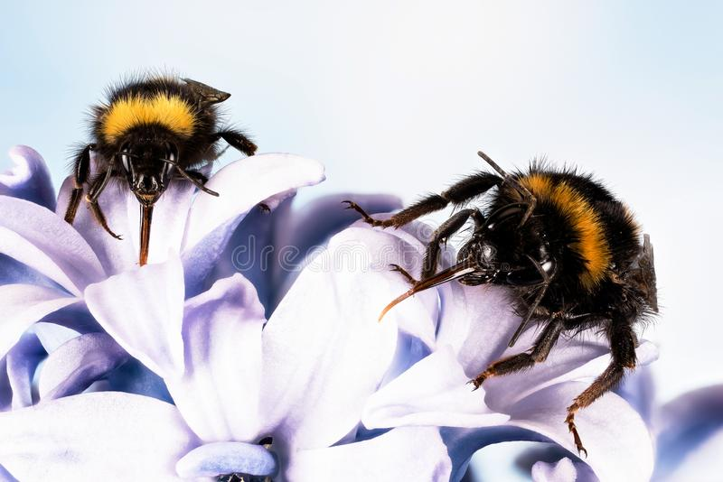 Ogoniasty Bumblebee, Bumblebee, Bombus terrestris zdjęcie stock
