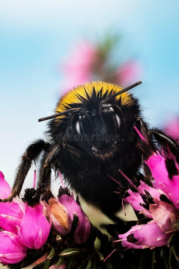 Ogoniasty Bumblebee, Bumblebee, Bombus terrestris obraz stock