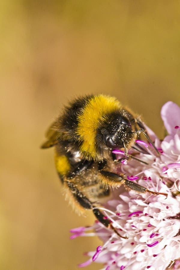 Ogoniasty Bumblebee (Bombus terrestris subsp lusitanicus) obraz stock