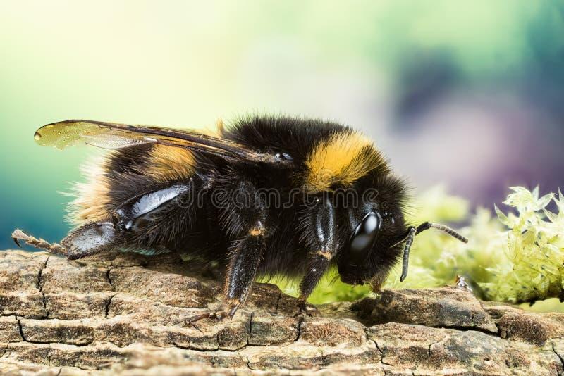 Ogoniasty Bumblebee, Bumblebee, Dumbledor, Dumbledore zdjęcia royalty free