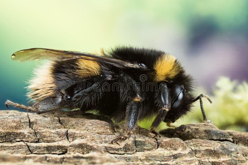Ogoniasty Bumblebee, Bumblebee, Dumbledor, Dumbledore zdjęcie stock