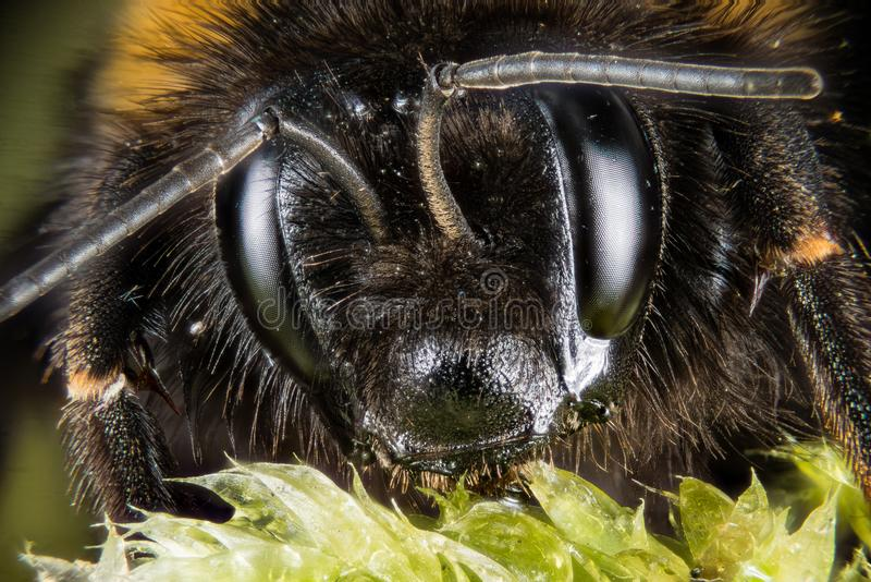 Ogoniasty Bumblebee, Bumblebee, Dumbledor, Dumbledore obrazy stock