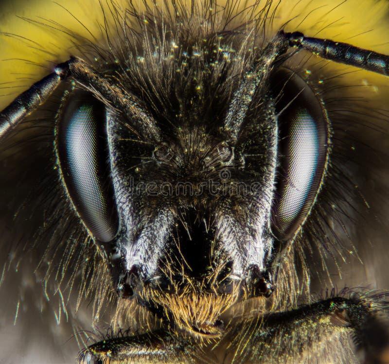 Ogoniasty Bumblebee, Bumblebee, Dumbledor, Dumbledore obraz royalty free