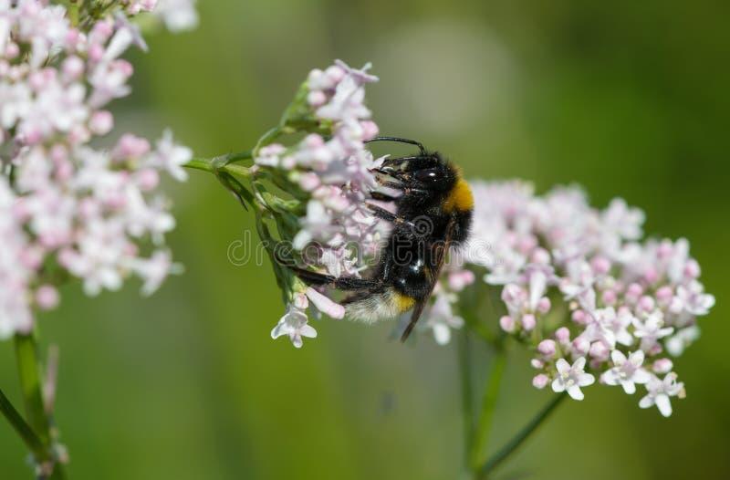 Ogoniasty bumblebee karmienie na pospolitym kozłeku fotografia stock