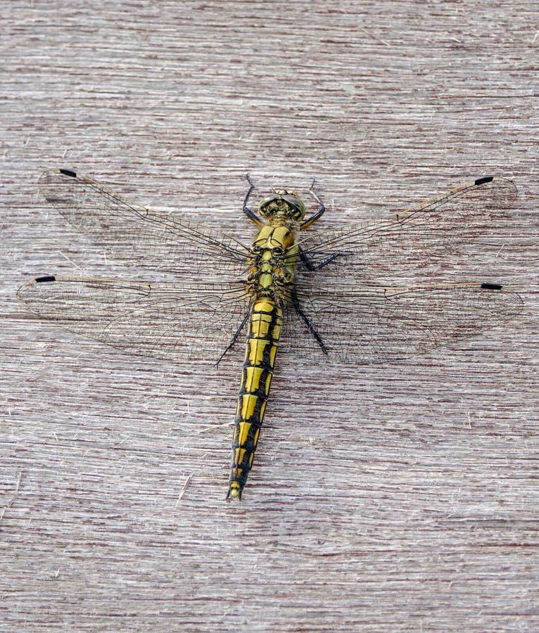 Ogoniasty cedzakowy Orthetrum cancellatum, kobieta, dragonfly obrazy stock