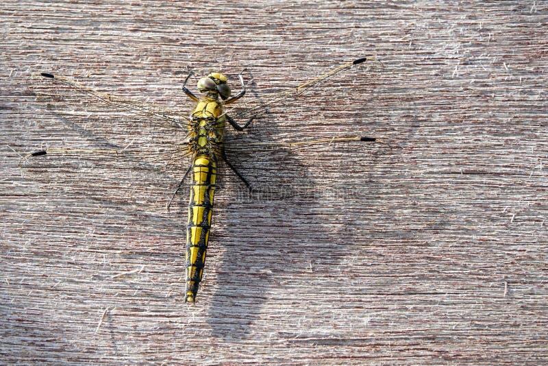 Ogoniasty cedzakowy Orthetrum cancellatum, kobieta, dragonfly obraz stock