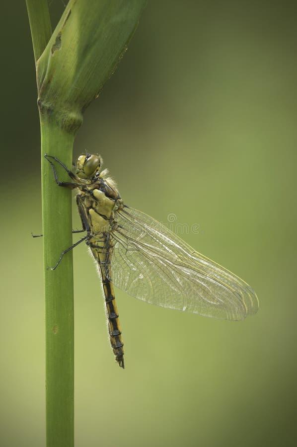 ogoniasty dragonfly czarny skimmer zdjęcie royalty free