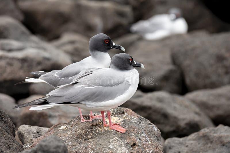 Ogoniasty frajer w Galapagos wyspach fotografia stock