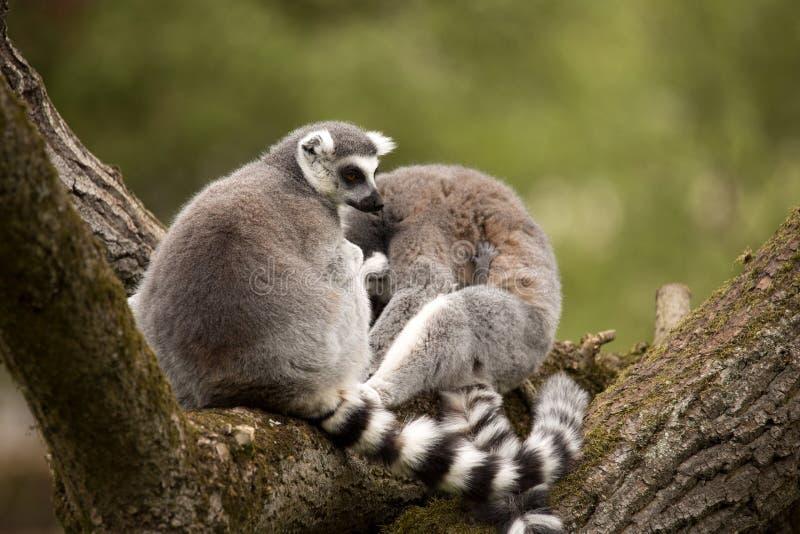 Ogoniasty lemur, lemur Catta, kobiety z lisiątkami fotografia stock