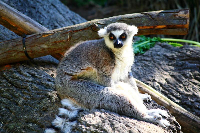 Ogoniasty lemur, lemura catta fotografia royalty free