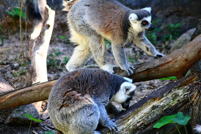 Ogoniasty lemur, lemura catta zdjęcia stock