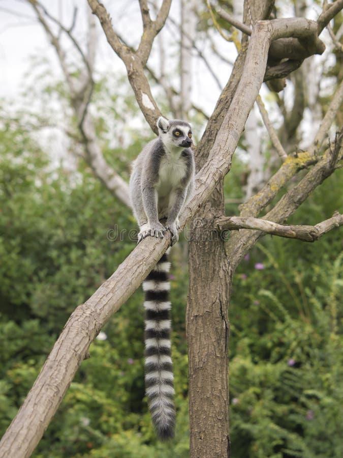 Ogoniasty lemur na drzewie zdjęcie stock