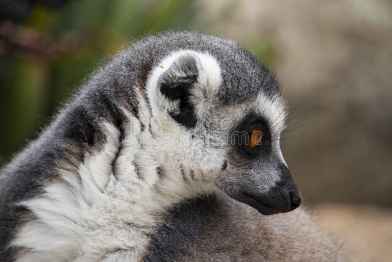Ogoniasty lemur patrzeje jego strona obraz stock
