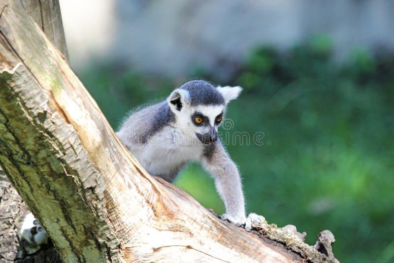 Ogoniasty lemur wspina się belę (lemura catta) fotografia royalty free