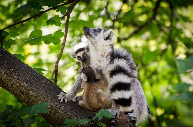 Ogoniasty lemur z dwa babys obrazy stock