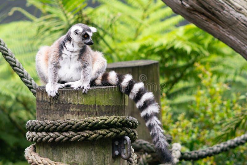 ogoniasty lemur z widokiem jego piękny czarny i biały pasiasty ogon obrazy stock