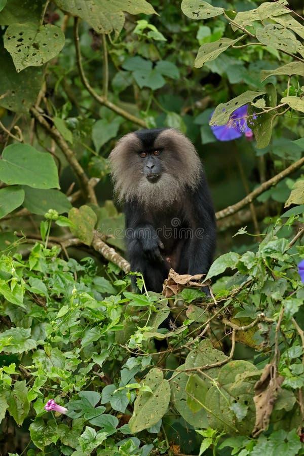 ogoniasty makaka Macaca silenus fotografia royalty free