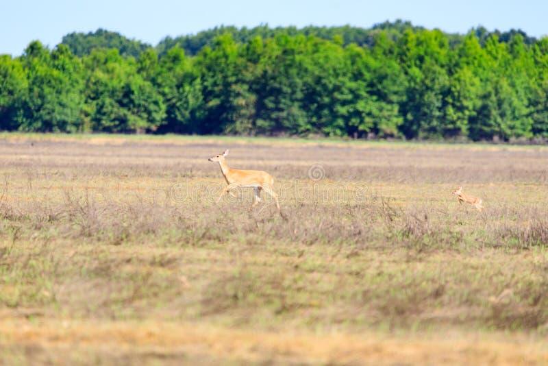 Ogoniasty, Odocoileus virginianus, królica i jej źrebię, chodzimy przez pole w Łysym gałeczka rezerwacie dzikiej przyrody w Łysej obraz royalty free