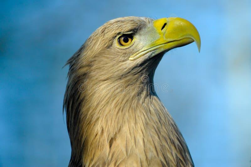 ogoniasty orła biel obraz royalty free