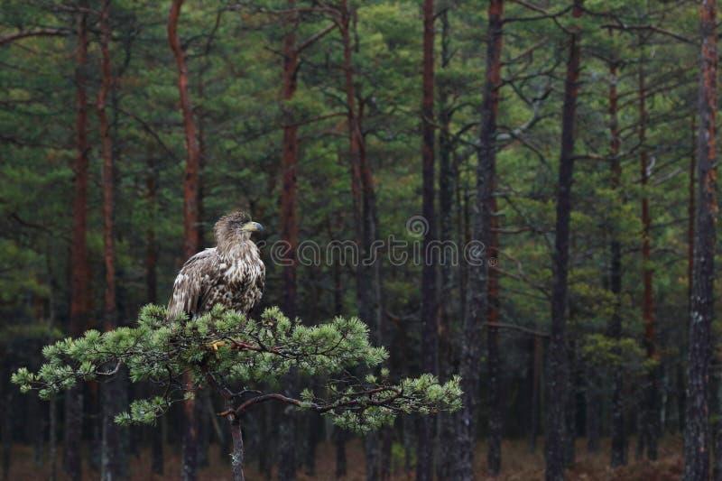 Ogoniasty orła obsiadanie na sośnie zdjęcie stock