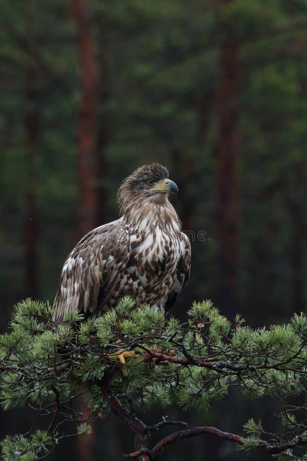 Ogoniasty orła obsiadanie na sośnie obraz stock