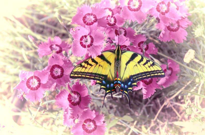 ogoniasty Swallowtail motyl na Słodkim William fotografia royalty free