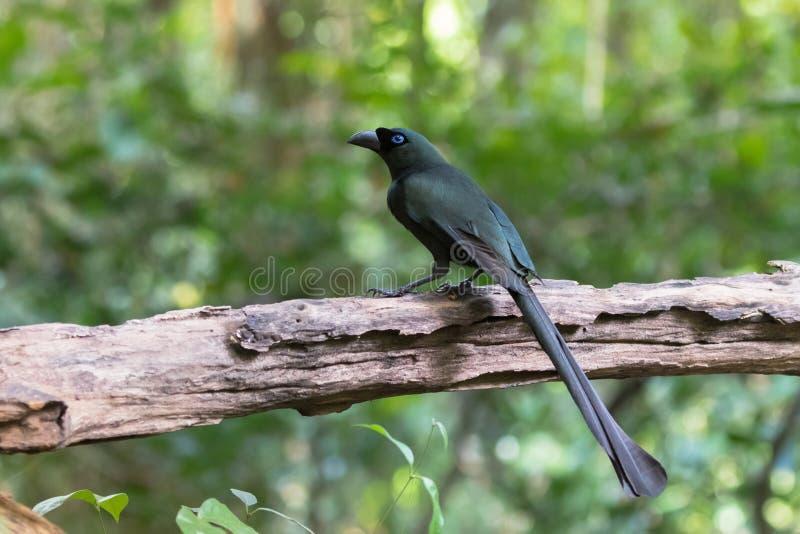 Ogoniasty treepie ptak w czerni z kruszcową zielenią i turq obrazy royalty free
