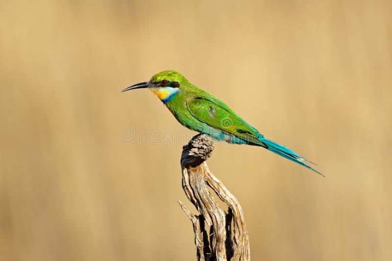 Ogoniasty zjadacz - Południowa Afryka obraz stock