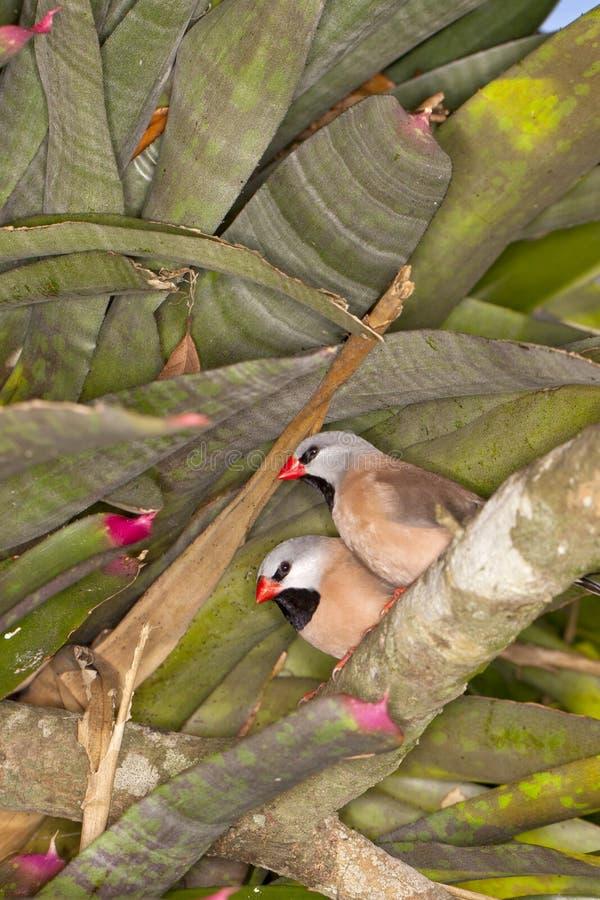 Ogonu Finch (Poephila acuticauda) obrazy stock
