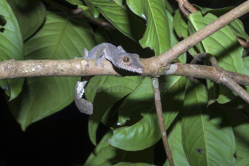 Ogonu gekonu Uroplatus fimbriatus, Nosaty Mangabe, Madagascar zdjęcia stock