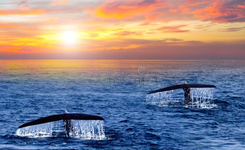 Ogonu Humpback wieloryba wschód słońca morza karaibskiego fala zdjęcie royalty free