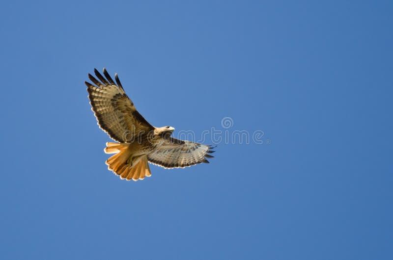 ogonu jastrzębia latanie w niebieskim niebie zdjęcie stock