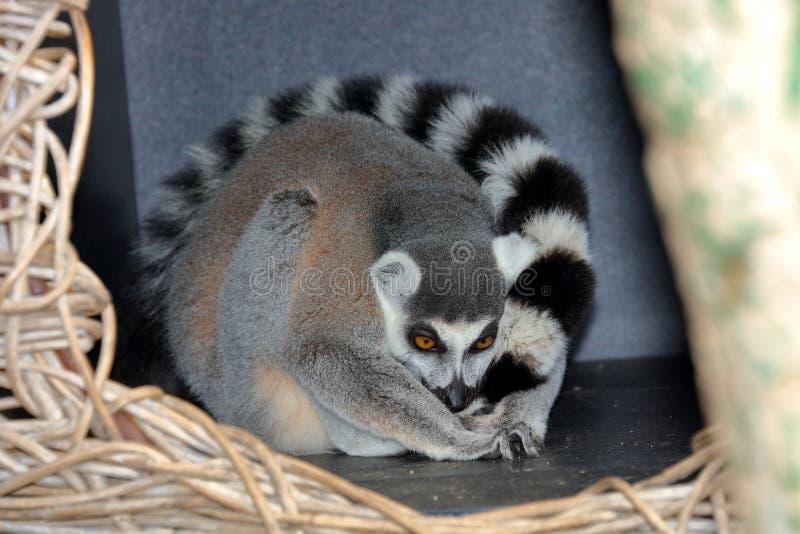 Ogonu lemur fryzujący up w domu zdjęcia royalty free