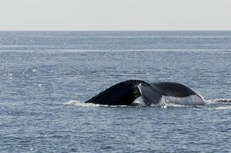 Ogonu widok Humpback wieloryb zdjęcie stock