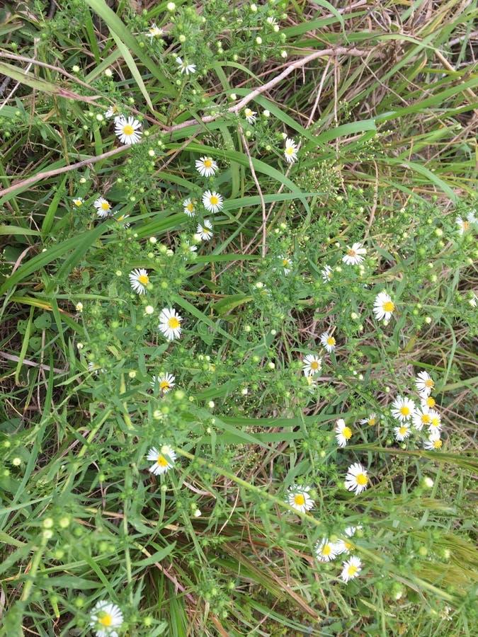 Ogräs med nätta små blommor arkivfoto