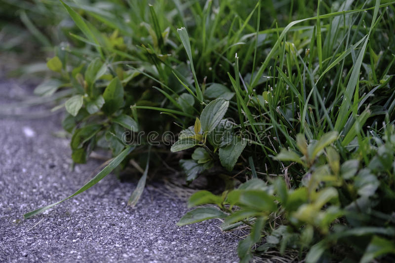 Ogräs på kanten av gräsmattan arkivfoton