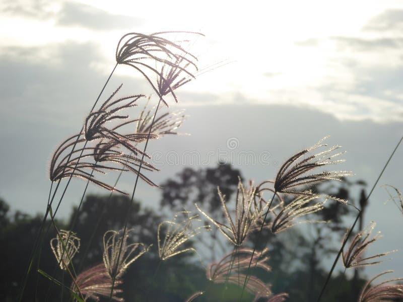 Ogräset blommar på risfältet royaltyfri bild