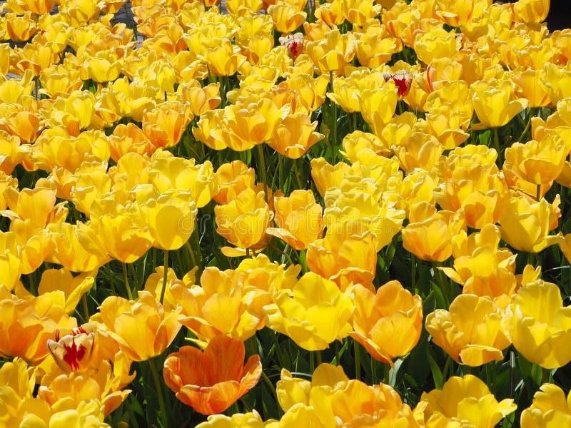 Ogród Żółci tulipany obraz royalty free