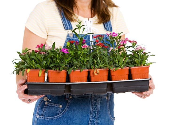 Ogród: Kobiety mienia mieszkanie Kolorowi Dianthus roczniki zdjęcia stock