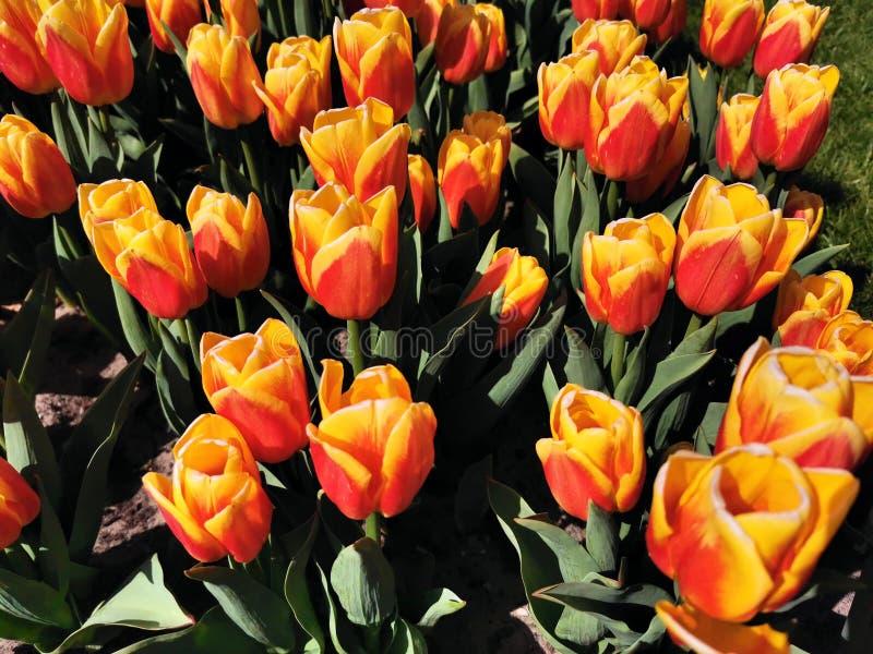 Ogród kwiatowy w Keukenhof jest jednym z największych na świecie ogrodów kwiatowych, usytuowanych w Lisse, Holandia obrazy stock