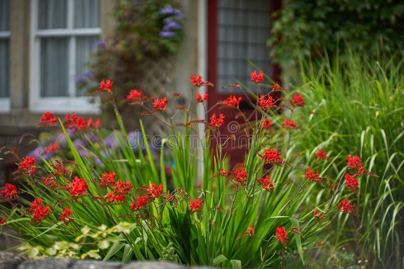 Ogród kwitnie crocosmia × crocosmiiflora obraz royalty free