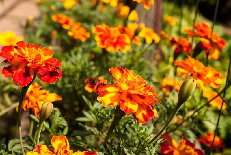 Ogród kwitnie nagietka wizerunku jaskrawego soczystego ideał dla tła zdjęcie royalty free